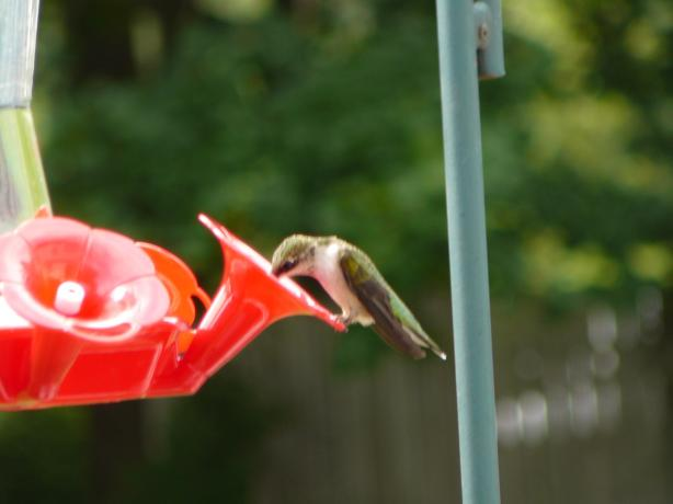 Hummingbird Food. Photo by johnbuell